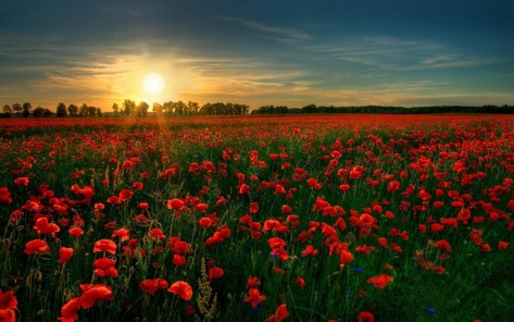 poppy-field-in-the-sunset-flower-hd-wallpaper-1920x1200-4136